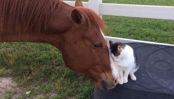Pisicuța Sappy și calul Dakota – cei mai buni și drăgălași prieteni din lume - Galerie Foto