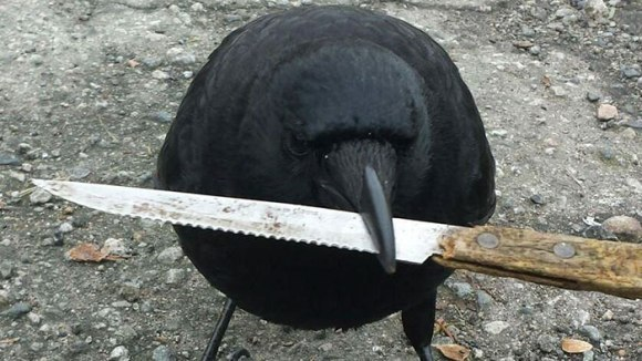 O cioară a furat cuțitul-probă de la locul în care s-a petrecut o infracțiune - Galerie Foto