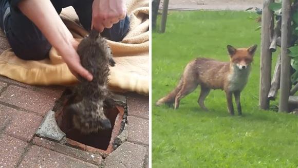 Un pui de vulpe a fost salvat dintr-o canalizare, sub privirile pline de speranță ale mamei – VIDEO