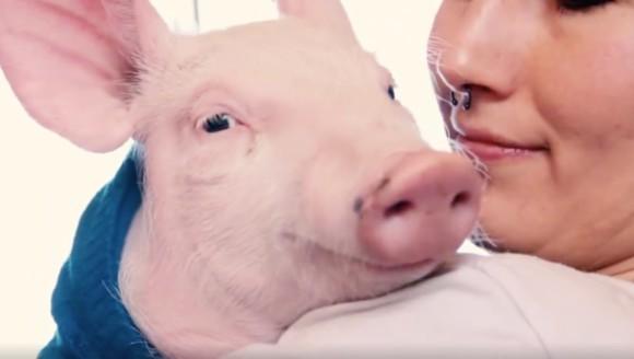 Definiția fericirii, în viziunea unui porcușor salvat dintr-o fermă – VIDEO adorabil