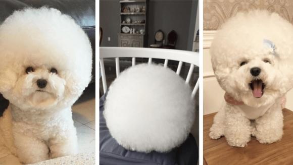 Câinele care arată ca o minge de bumbac. Nu te mai saturi privindu-l - Galerie Foto