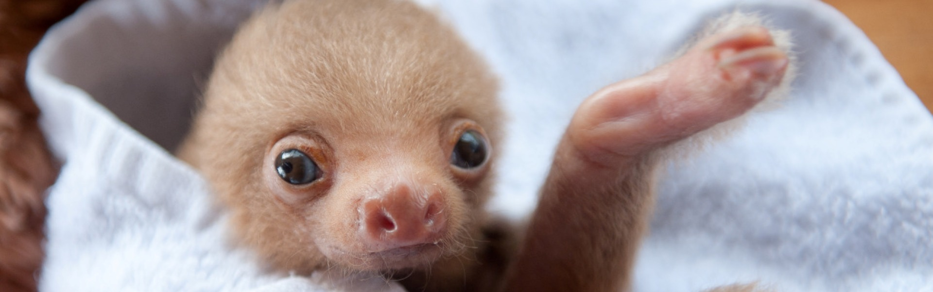 Fotografiile adorabile cu leneși rămași orfani îți vor topi inima - Galerie foto
