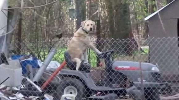 Cel mai cool câine din lume: a întrerupt o transmisiune în direct, stând la volanul unei mașini de tuns iarba – VIDEO
