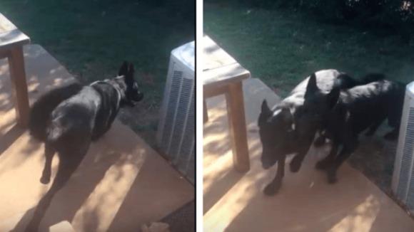 Câinele isteț știe foarte bine cum să își determine fratele să intre în casă – VIDEO