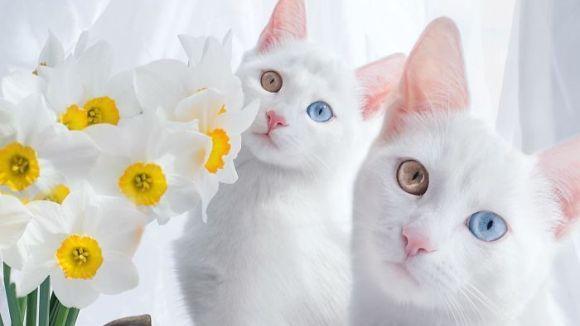 Cele mai frumoase pisici gemene din lume - Galerie foto