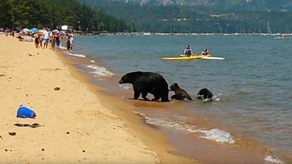 O ursoaică și-a scos puii la scăldat, sub privire înmărmurite ale turiștilor din California – VIDEO
