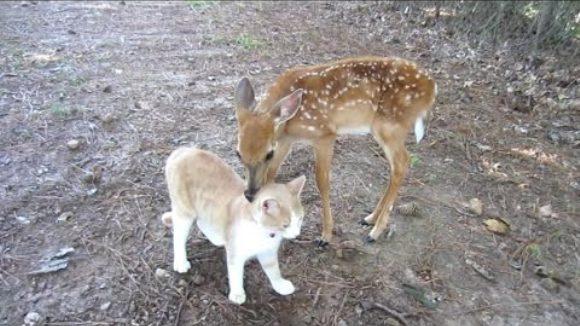 Între un pui de căprioară adoptat și motanul vecinilor s-a legat o prietenie adorabilă – VIDEO