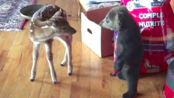 Puișorul de urs nu s-a putut abține să flirteze cu o micuță căprioară – VIDEO adorabil