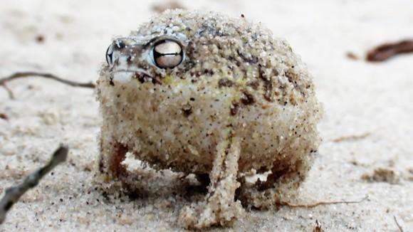 Adorabil: ce sunete scoate cea mai drăguță broască din lume, atunci când e nervoasă – VIDEO