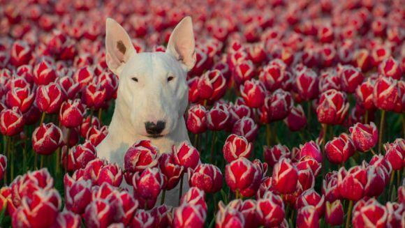 Cel mai simpatic bull terrier din toată lumea: iubește să pozeze printre flori - Galerie foto