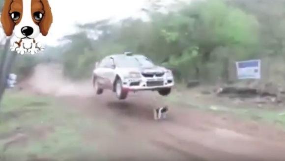 Cel mai norocos câine din lume: a trecut maşina de raliuri peste el şi a scăpat fără nicio zgârietură – VIDEO