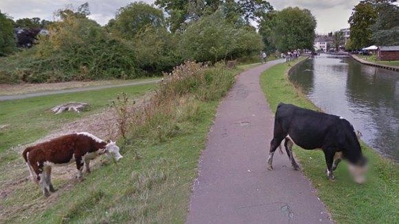O vacă misterioasă a devenit cunoscută în toată lumea, din cauza modului în care a tratat-o Google Street View