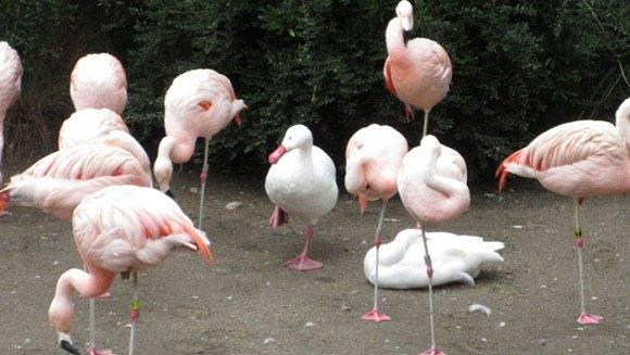 Despre imitaţie şi alte aspiraţii: raţe care se cred păsări flamingo - Galerie Foto