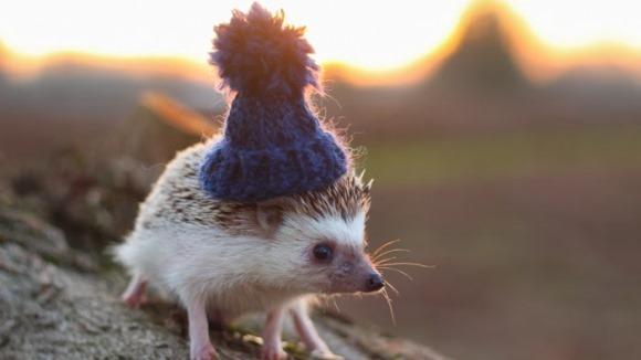 Arici cu pălării, în cele mai drăgălaşe imagini. Te vor cuceri pe loc - Galerie foto