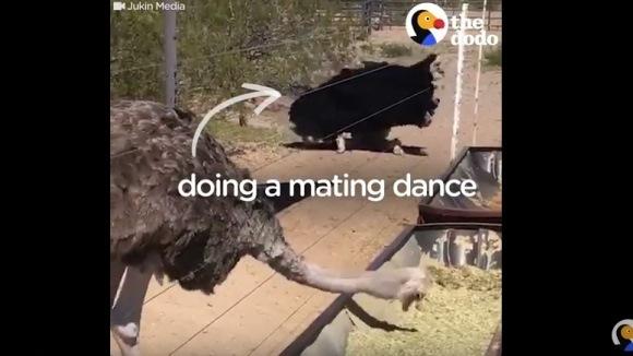 Cea mai infatuată femelă-struţ: masculul face dansul împerecherii lângă ea, iar ea… VIDEO