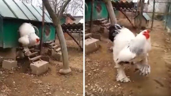 Găina aceasta e uriaşă! Internauţilor nu le vine să-şi creadă ochilor – VIDEO