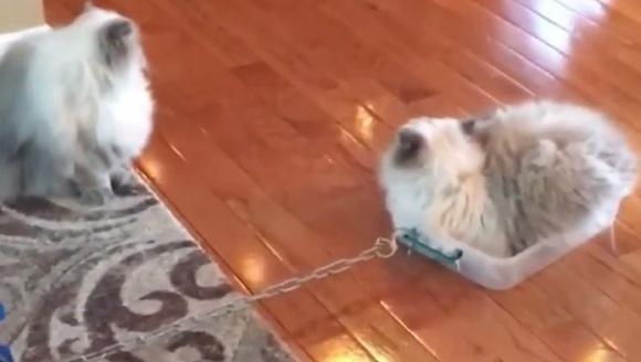 Cel mai leneş cuplu de pisici din lume: nu îl poţi mişca decât cu macaraua – VIDEO