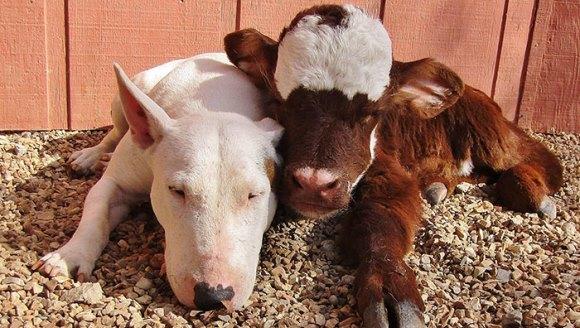 Mini-văcuţa salvată dintr-o casă de licitaţii trăieşte alături de 12 câini. Acum, se crede şi ea câine  - Galerie foto