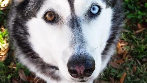 Heterocromia: imagini savuroase cu patrupezani canini care au ochii de culori diferite - Galerie foto