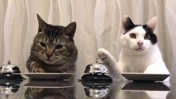 """""""Garçon, mâncarea, te rog!"""" Sau despre cum pisicile dresează acum oamenii – VIDEO"""