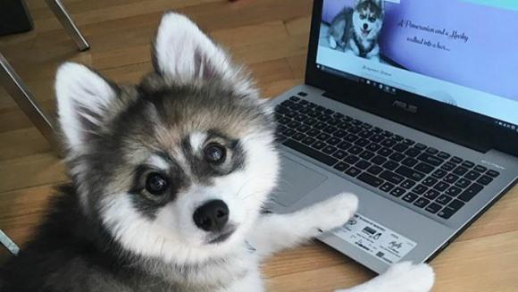 Norman – Pomeranianul-husky ce pare de jucărie - Galerie foto