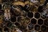 Intamplari din cuiburi de albine