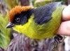 O noua specie de pasari a fost descoperita in Columbia