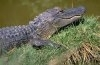 Un aligator monden