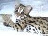 A fost furat un pui de leopard