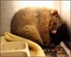 Un oposum confundat cu o pisica