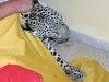 Un om a prins un leopard in baia lui