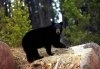 Un urs negru a innotat 2 mile