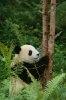 Cum arata ursul panda acum 2.000.000 de ani