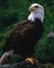 Vulturul plesuv nu mai este pe lista speciilor amenintate