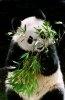 Ursii panda isi extind teritoriul