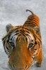 Tigru nascut in Africa de Sud
