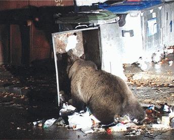 Brasov: Turistii care hranesc ursii vor fi amendati