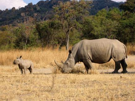 Rinocerii albi sunt pe cale de disparitie in Parcul National Garamba din Congo