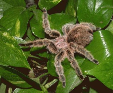 Tarantula si scorpionul au devenit animale de companie