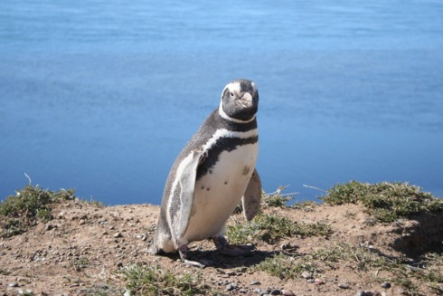 Populatia pinguinilor a intrat in declin din cauza activitatilor umane