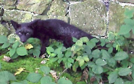 Vulpe neagra in Marea Britanie