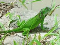 S-a descoperit o noua specie de iguana
