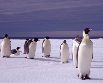 Pinguinii sunt amenintati de incalzirea globala