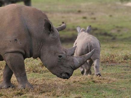 Femela de rinocer insarcinata prin inseminare artificiala