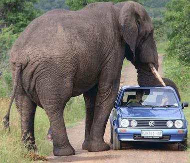 Elefantii asociaza soselele cu moartea
