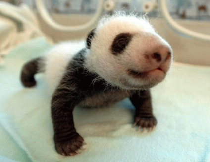 Ping Ping si An An sunt primii gemeni panda nascuti dupa seismul devastator din Sichuan