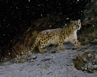 Fotografia anului surprinde un leopard de zapada