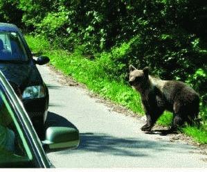 Ursii din judetul Harghita, la plimbare dupa hrana