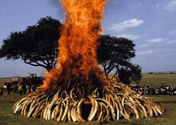 51 de tone de fildes de vanzare in Africa de Sud