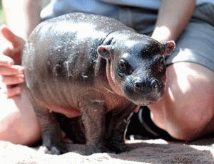 Primul hipopotam pitic nascut in captivitate in ultimii 23 de ani